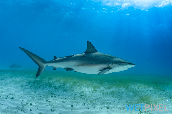 Reef sharks on Wetpixel