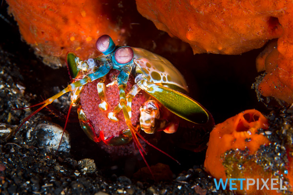 Mantis shrimp on Wetpixel