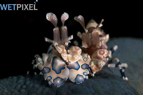 Lembeh-Gulen on Wetpixel
