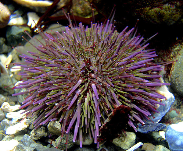 Purple sea urchin on Wetpixel