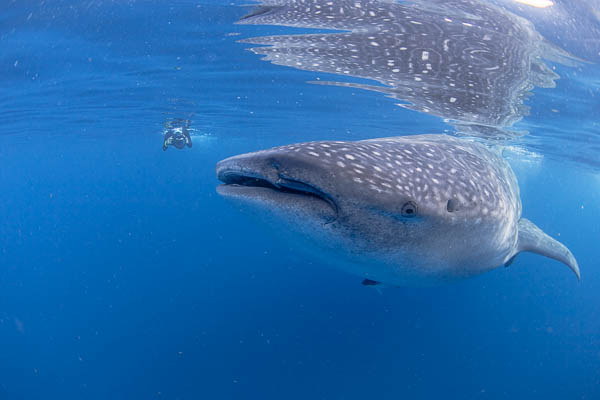 Wetpixel whale sharks
