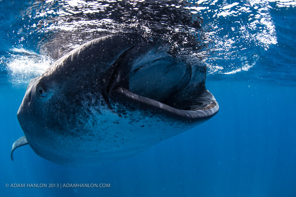 Happy whale shark day on Wetpixel