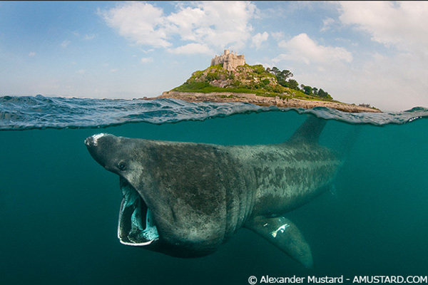 A.Mustard basking shark