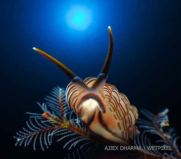 Ajiex Dharma's stunning nudibranch image on Wetpixel