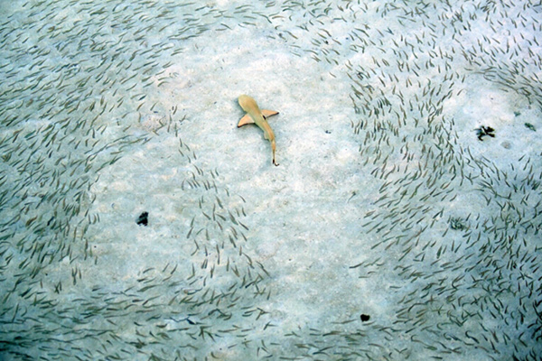 Alec Conna's winning image of black tip reef sharks from the 2009 competition