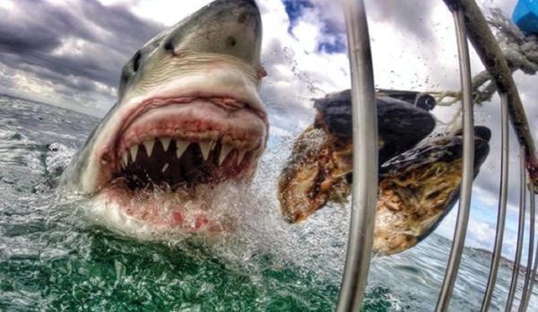 большая белая акула фото