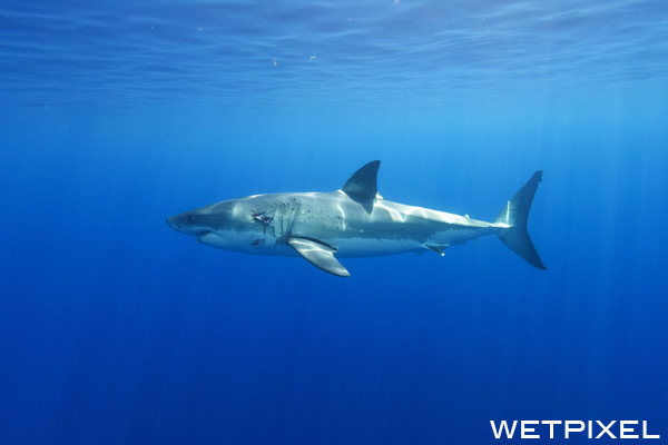 White sharks on Wetpixel