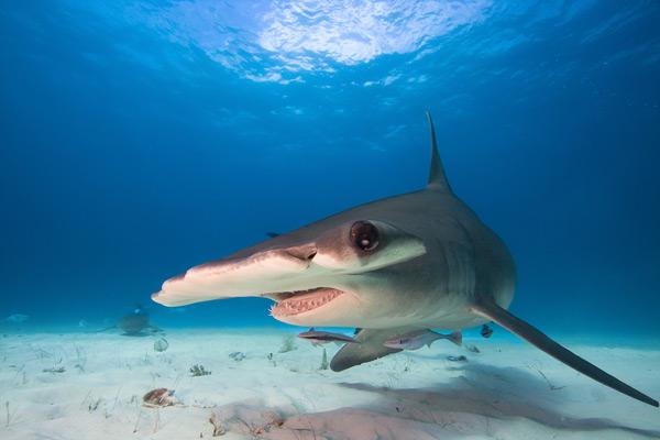 Новый заповедник для акул в скором времени появится в территориальных водах Британских Вергинских Островов