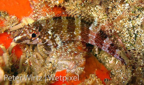 Name your blenny on Wetpixel