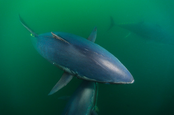Skerry bluefin