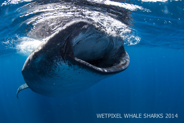 Wetpixel Whale Sharks 2014