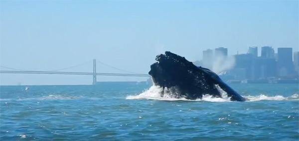горбатые киты в заливе