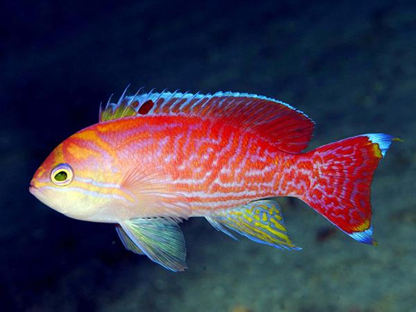 Coral Reefs Maldives: Reef ID Books Andrey Ryanskiy