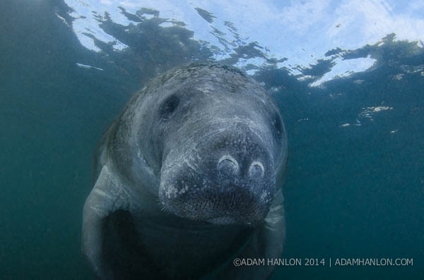 Manatee by Joe Romeiro on Wetpixel
