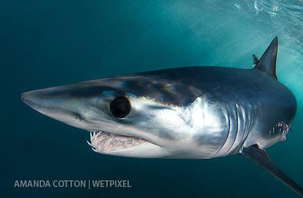 подводное фото акулы-мако