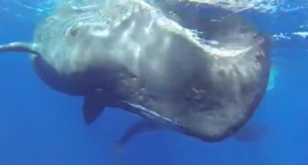 Kurt Amsler films a sperm whale birth on Wetpixel