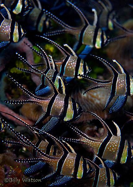подводный снимок рыбы-кардинала