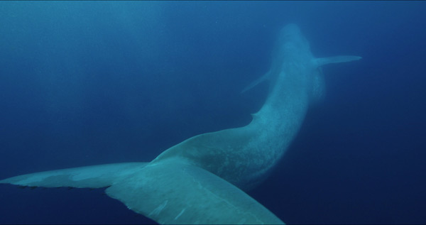 a study on the blue whale the largest mammal on earth By dan whitcomb los angeles (reuters) - california blue whales, the largest animals on earth once driven to near extinction by whaling, have made a.