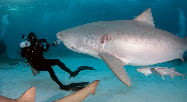 David Fleetham with a tiger shark at Tiger Beach, Bahamas