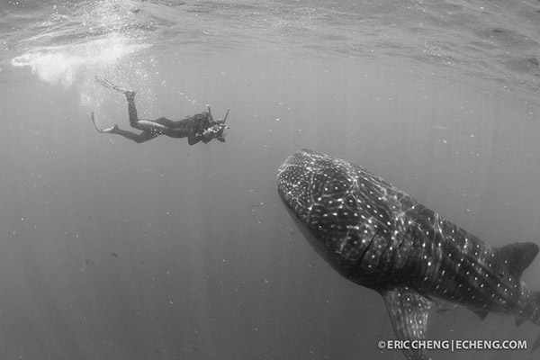 Wetpixel whale sharks 2013