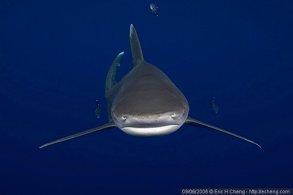 Wetpixel Oceanic Whitetip sharks expedition