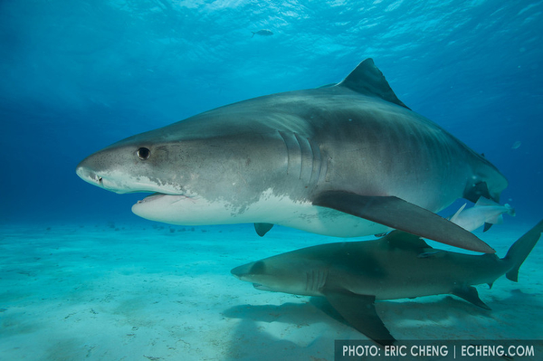 Wetpixel Ultimate Tiger sharks trip updates