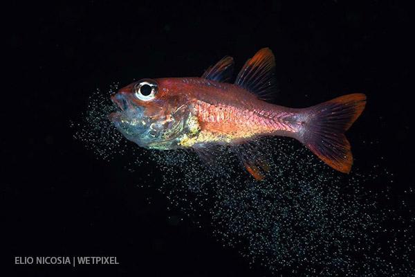 редкий подводные снимок рыбы-кардинала