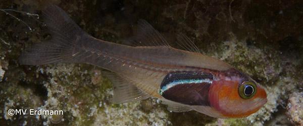 описал новые виды эндемичных рыб-кардиналов
