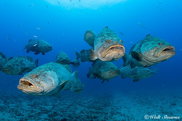 Goliath grouper on Wetpixel
