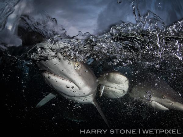 подводное фото тигровой акулы