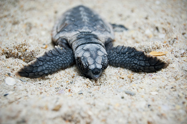Turtle hatchling from Shutterstock