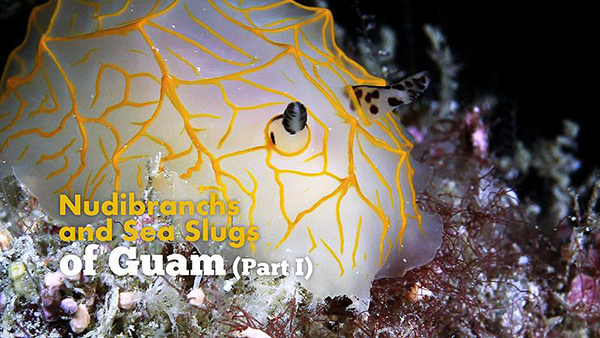Nudibranchs and Sea Slugs of Guam part 1 on Wetpixel