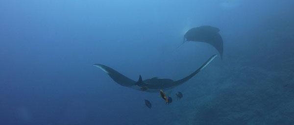 подводная съемка гигантских мант