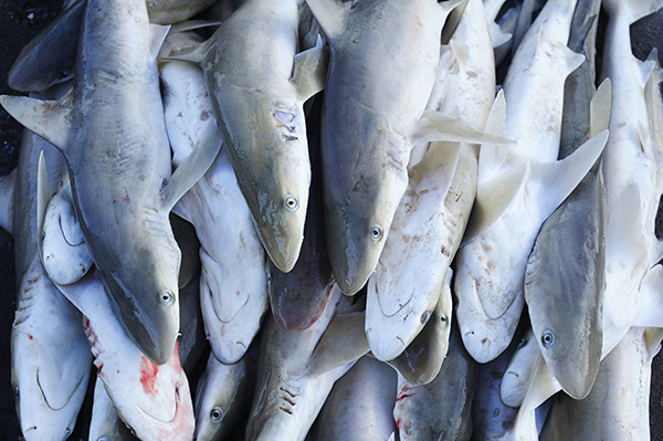Shark market from Shutterstock