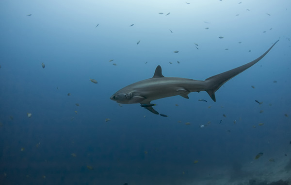 Thresher shark on Wetpixel