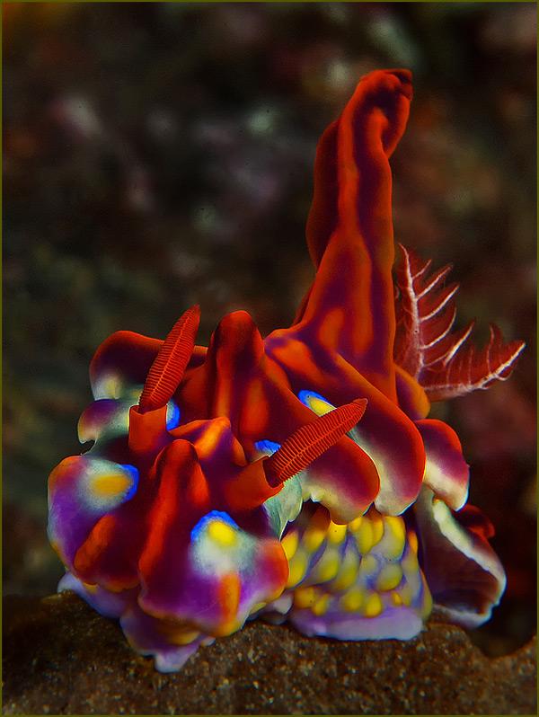подводное фото голожаберника