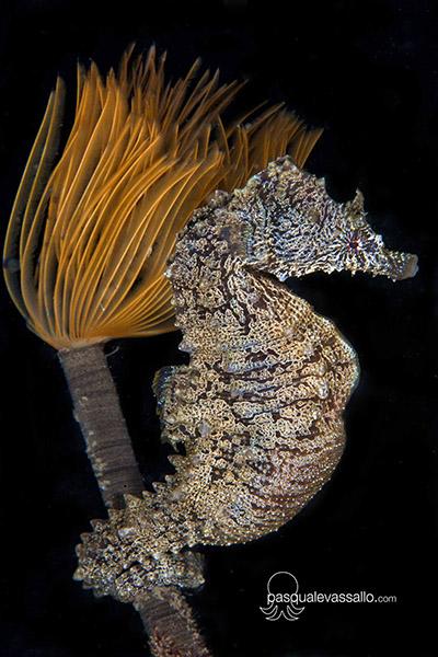Удивительный снимок короткомордого конька (Hippocampus hippocampus)