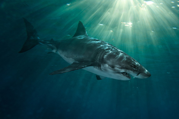 The Coast Of California In Addition To Tagging And Tracking Programs Scientists Have Zeroed On Several Great White Shark Nurseries Off