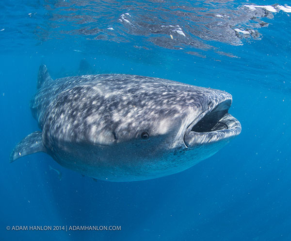Wetpixel Whale Sharks 2014 trip report