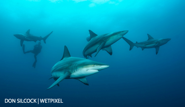 The Sharks of Protea Banks by Don Silcock :: Wetpixel com