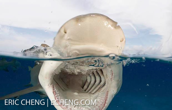 Удивительная популяция тигровых акул (Galeocerdo cuvier)
