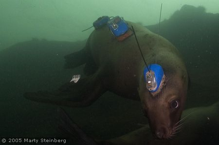Instrumented Sea Lion at Hornby Island