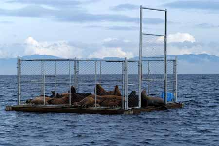 Sea lion trap has become preferred hauling site