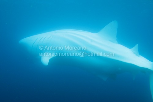 Albino Whale Shark Albino Blue Whale