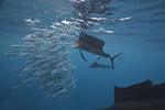 Wetpixel Sailfish Safari