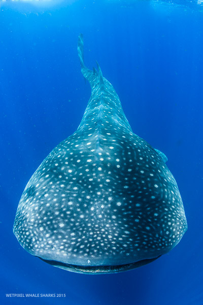 a report on whale sharks We will be digitally tagging the whale sharks to put together one of the most extensive video and photographic libraries for all to report a whale shark encounter.