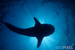 Wetpixel Whale Shark Expedition